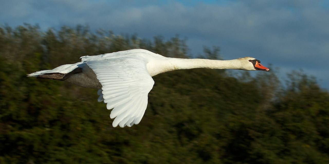 J - Trumpeter Swan