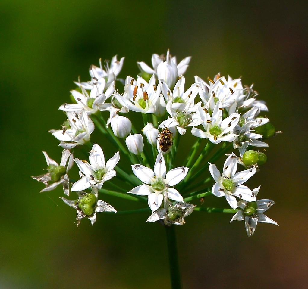 B - Garlic flower with wildlife