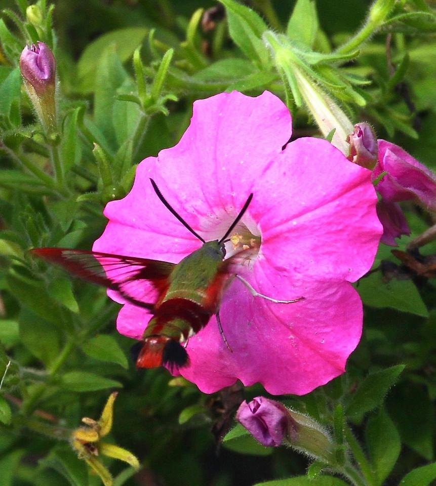 B - Hummingbird Clearwing Moth