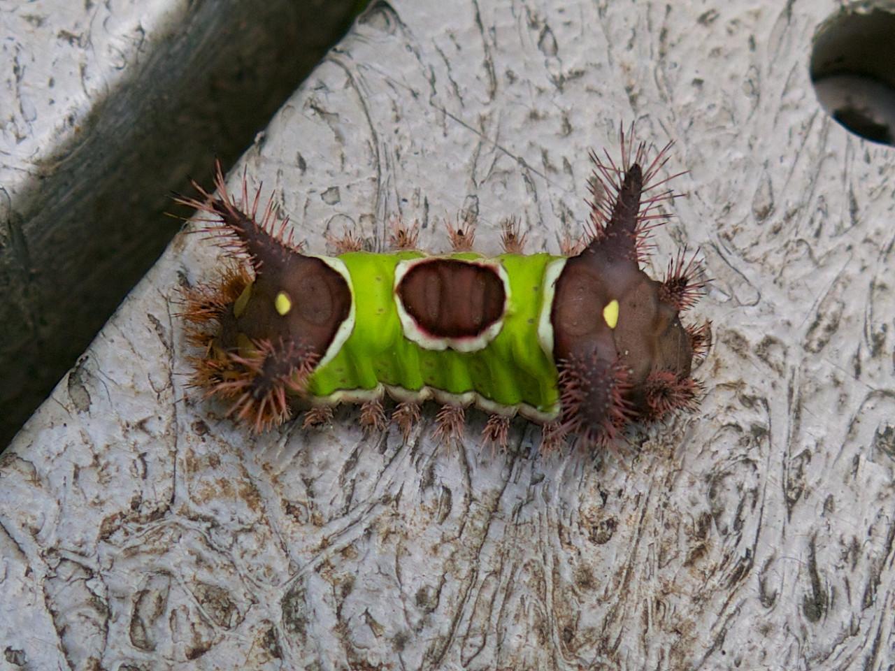 J -Saddleback Caterpillar
